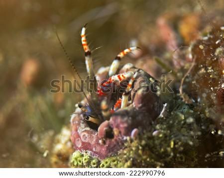 Hermit crab, Bunter Einsiedler (Calcinus tubularis)  - stock photo