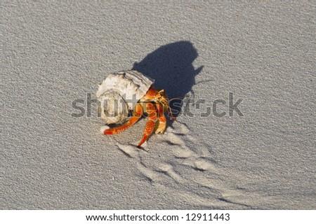 Hermit crab (Coenobita sp.) crawling on sandy beach - stock photo