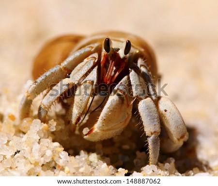 Hermit crab macro view - stock photo