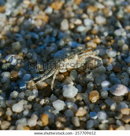Hermit or soldier crab on background of sea pebbles  - stock photo