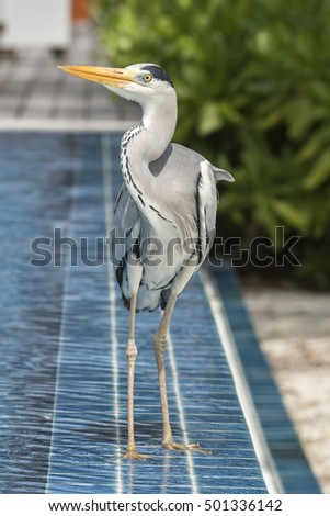 Heron at the pool in the Maldives