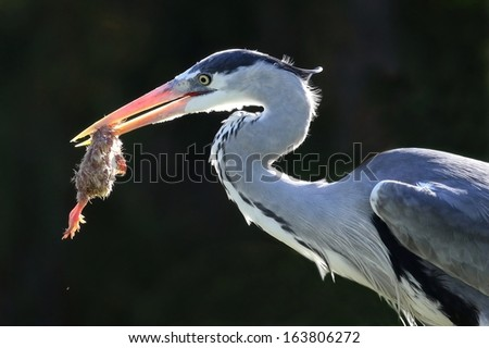 Heron bird with a chick which it has caught to eat in it's beak