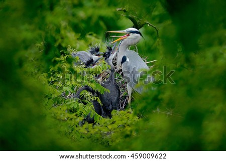 Heron family in the nest. Feeding scene during nesting time. Grey heron with young in the nest. Food in the nest with young herons. Birds in the nest. Action scene from Germany. Wildlife in the nature - stock photo