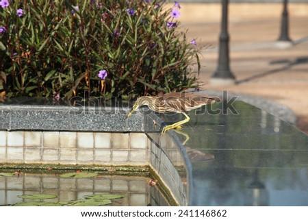 Heron on lotus pond. - stock photo