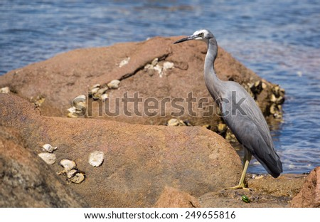Heron on rock oyster covered rock.