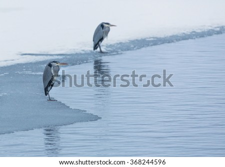 Heron standing on ice edge.