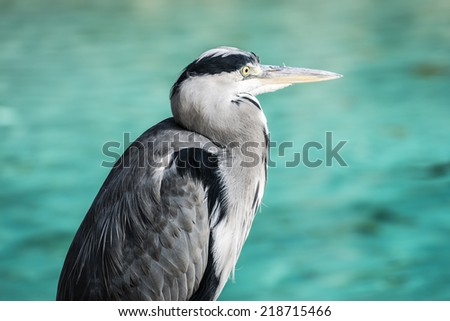 Heron waiting for a fish in the lake - stock photo