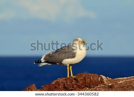 Herring gull - stock photo