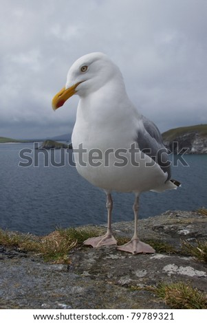 herring gull at the sea side in ireland - stock photo