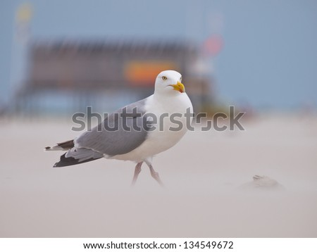 Herring gull (larus argentus) on beach with lifeguard tower in backdrop - stock photo