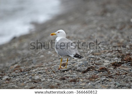 Herring gull on the shingle beach. Close-up.