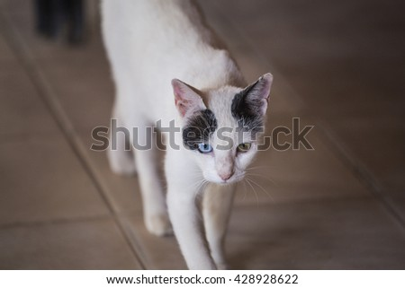 Heterochromia black white cat. White cat with different colored eyes and black spots are on the tile - stock photo