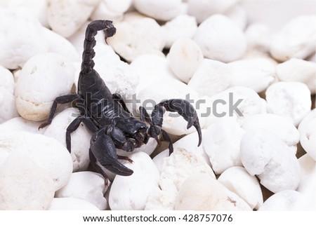 Heterometrus longimanus back scorpion.Emperor Scorpion, Pandinus imperator.scorpion isolate on stone white background - stock photo