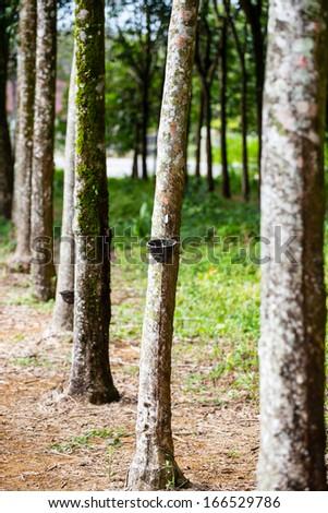 Hevea trees farm Thailand - stock photo