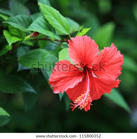 Hibiscus flower - stock photo