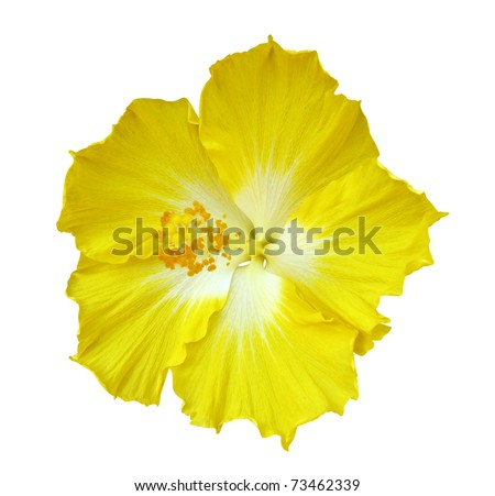 Hibiscus flower isolated on white background - stock photo
