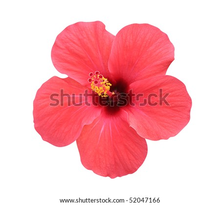 Hibiscus flower - isolated, path included - stock photo