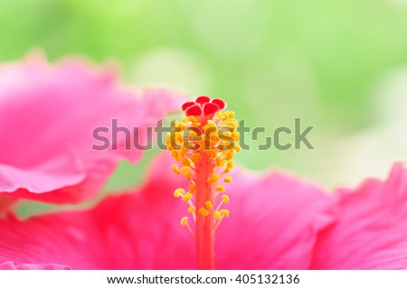 Hibiscus flower, Pink hibiscus flower blooming on blurred nature background - stock photo
