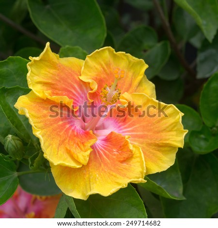 hibiscus flower pollen. - stock photo