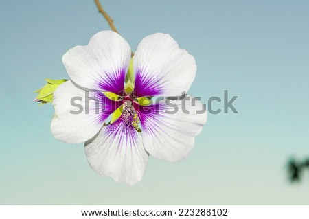 Hibiscus flower variety - stock photo
