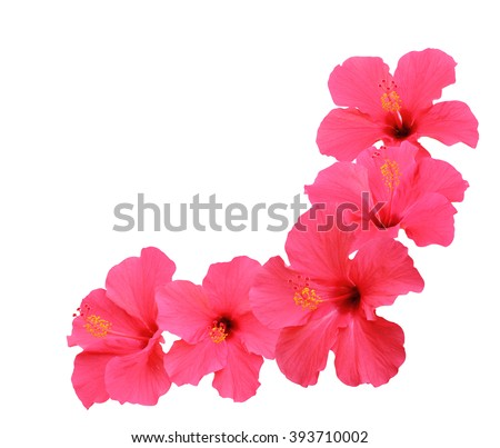 Hibiscus flowers border isolated on white background