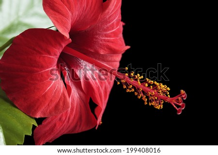 Hibiscus rosa-sinensis isolated on black background - stock photo