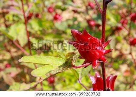 Hibiscus sabdariffa / Roselle / Healthy Food Alternative Medicine Drinks - stock photo