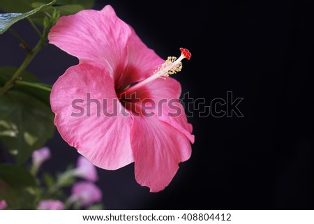 hibiscus sinensis a beautiful  pink hibiscus flower - stock photo