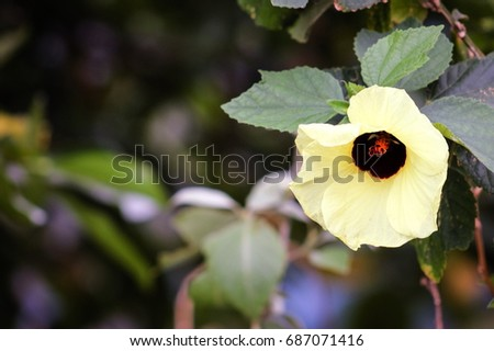 Tree mallow stock images royalty free images vectors shutterstock hibiscus tiliaceus is a species of flowering tree in the mallow family malvaceae that ccuart Image collections