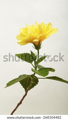 Hibiscus Tropical flowers yellow hibiscus blossom - stock photo