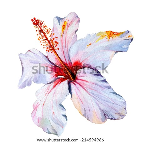 Hibiscus, watercolor tropical flower,  isolated on white illustration - stock photo