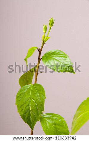 Hibiscus with a few buds - stock photo
