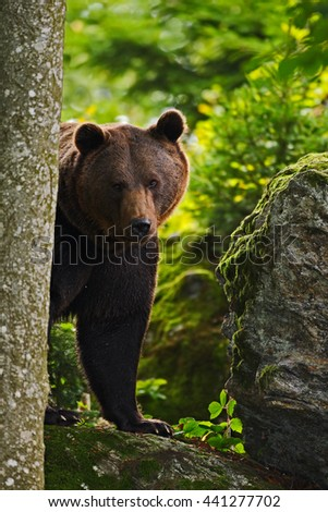 Hidden brown bear in the forest in Slovakia. Wild bear in natural habitat.