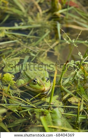 Hidden bullfrog - stock photo