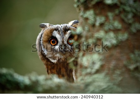 Hidden portrait Long-eared Owl with big orange eyes behind larch tree trunk - stock photo