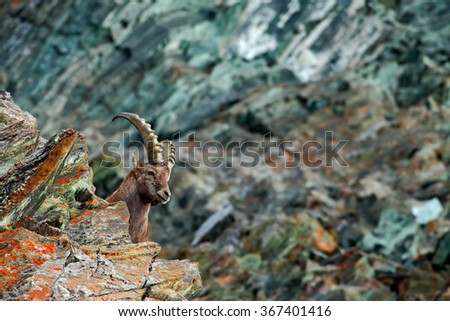 Hidden portrait of antler Alpine Ibex, Capra ibex, with coloured rocks in background, animal in the nature habitat, Italy - stock photo