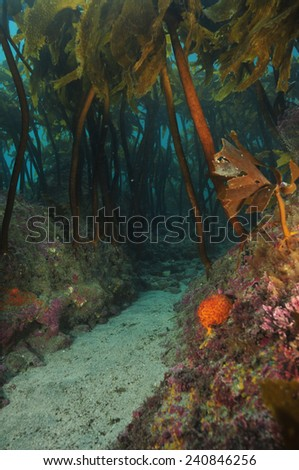 Hidden sandy passage under kelp forest canopy - stock photo