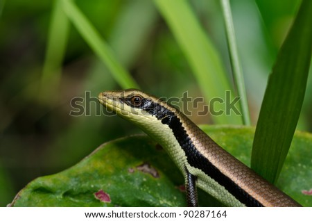 hide Skink in garden or in green nature