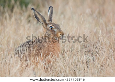 Hiding Hare sitting in the grass (Lepus europaeus). - stock photo