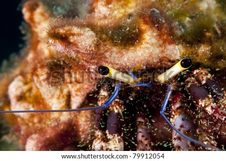 Hiding Hermit crab, in the Andaman Sea, Thailand. - stock photo