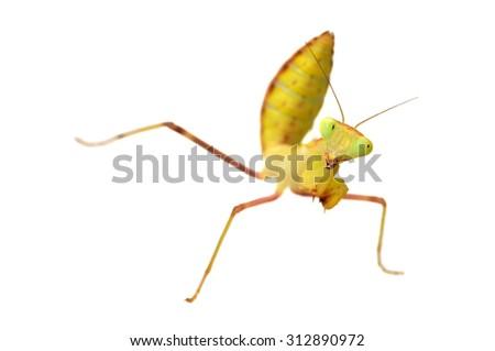 Hierodula sp. mantis isolated on white - stock photo