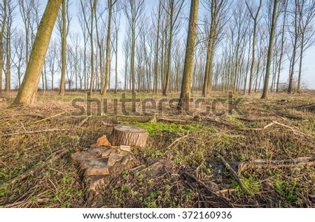 High and sometimes crooked straight trees in the background and in the foreground a few remnants of recently harvested trees. - stock photo
