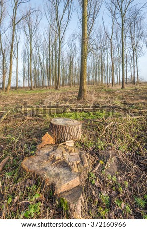 High and straight trees in the background and in the foreground a few remnants of recently harvested trees. - stock photo