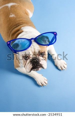 High angle of English bulldog sitting on blue background wearing oversized blue sunglasses and looking at viewer.