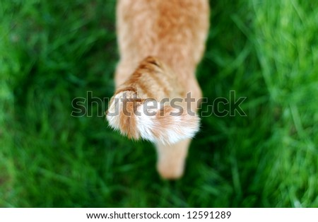 High angle view of a stray tabby cat's orange and white striped tail