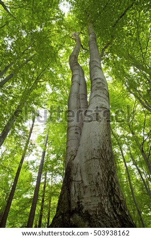 High beech tree green forest