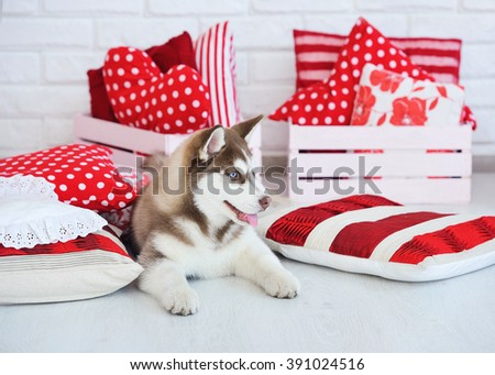 High bred adorable Siberian Husky puppy as the sweetest present  - stock photo