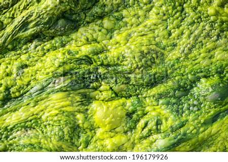 High detailed texture of ulva alga - stock photo
