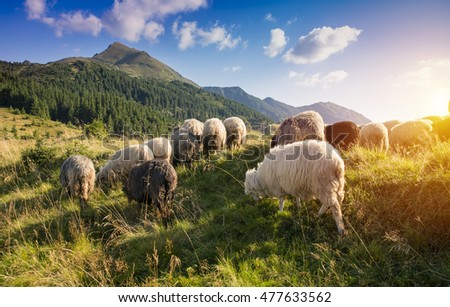High In The Mountains At Sunset Shepherds Graze Cattle Among Panorama Of Wild Forests Fields