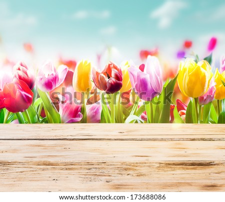 High key image of colourful fresh tulips growing outdoors under a sunny blue sky with empty rustic wooden boards or a tabletop in front of them - stock photo